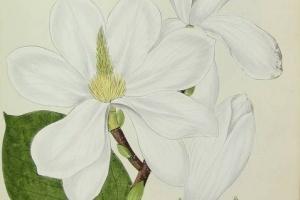 65/2659   [Botany]. Wildenow, C.L. and Hayne, F.G.
