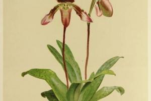 65/2657   [Botany]. Sander, F.