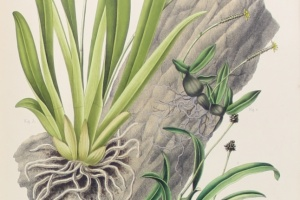 66/2277   [Botany]. Blume, C.L.