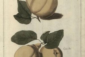 70/2494   [Botany]. Knoop, J.H.