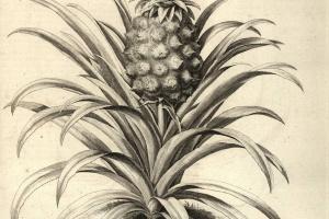 70/2493   [Botany]. Knoop, J.H.