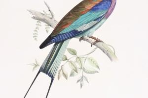 75/2368   [Ornithology]. Des Murs, M.A.P.O.